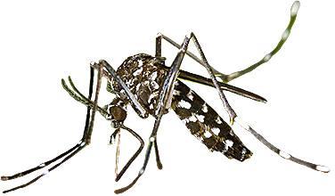 डेंगू का मच्छर